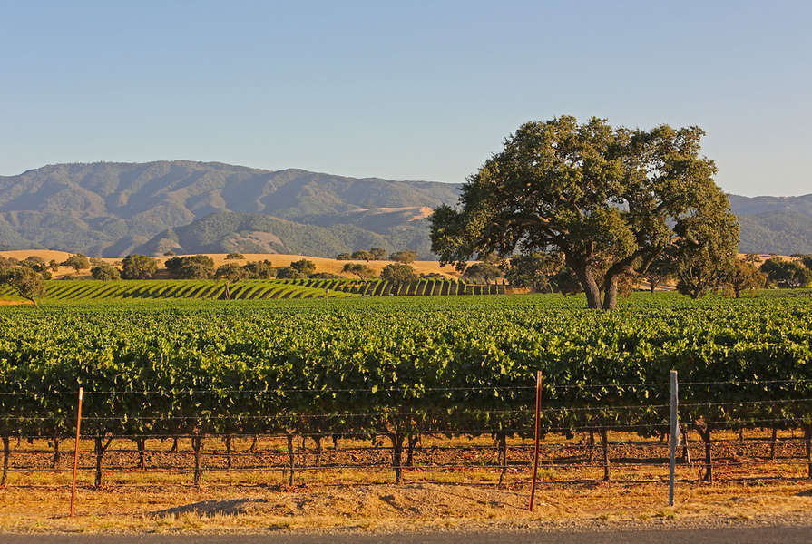 Vineyards throughout the Santa Ynez Valley