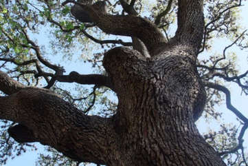 The majestic 350 year old live oak over back patio